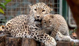 Возвращение леопарда в Осетию