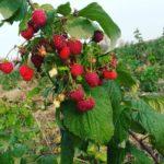 Ягодный рай: в Северной Осетии начался сезон малины