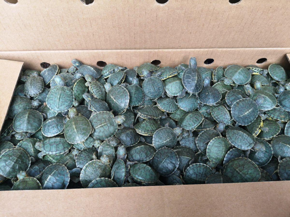Не доползли: на Верхнем Ларсе обнаружено 3 500 красноухих черепах