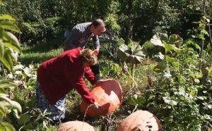 В Верхней Санибе вырастили тыквы-гиганты