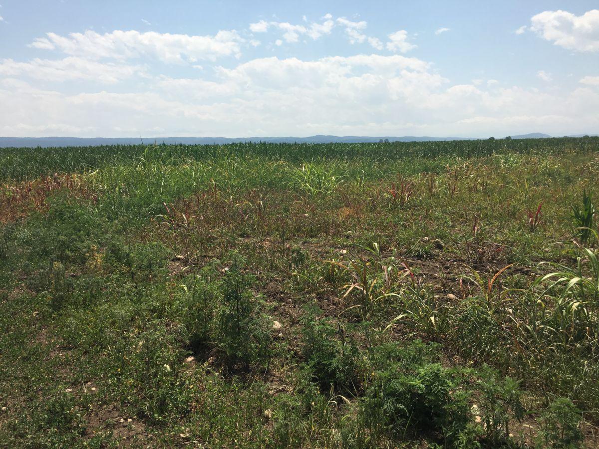 В нескольких районах Северной Осетии ожидается низкий урожай из-за засухи