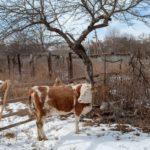 Коровы особого назначения