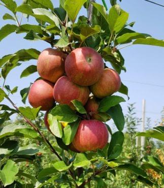 Более 3 тысяч тонн яблок собрали на предприятии «Владка» в 2020 году