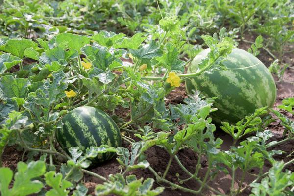 В Моздокском районе собрали первый урожай арбузов